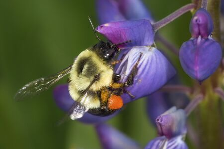 Bumblebee, Bombus sp., with large orange pollen basket and orange pollen on its legs, visiting a lupine flower in the Belding Preserve, Vernon, Connecticut.