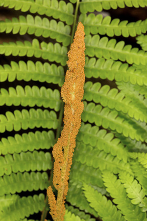fertile frond: Fertile and sterile  fronds of cinnamon fern, Osmunda cinnamomea, in spring at the Belding Preserve in Vernon, Connecticut.