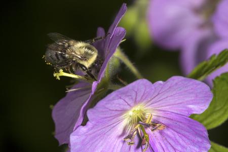 Bumblebee, Bombus sp., visiting a wild geranium flower in Valley Falls Park, Vernon, Connecticut. Stock Photo