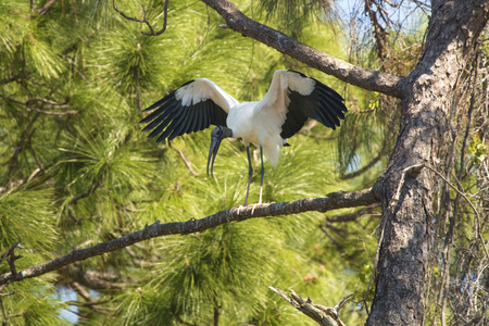 Wood stork, Mycteria americana, perched on a branch of a pine tree in a central Florida swamp. Banco de Imagens