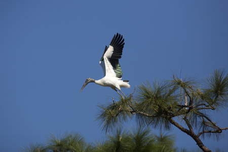 Wood stork, Mycteria americana, taking off from the top of a pine tree in a central Florida swamp.