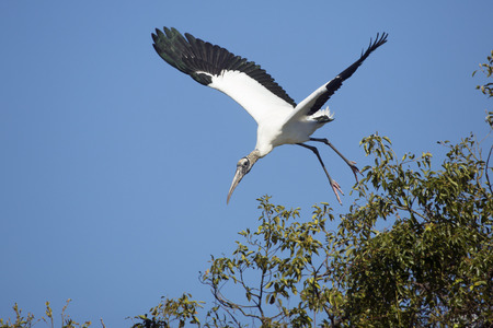 wildlife preserve: Wood stork, Mycteria americana, taking off from the top of a shrub in a central Florida swamp.