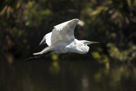 wildlife preserve: Great egret, Ardea alba, flying low over water of a central Florida swamp, with wings outspread.