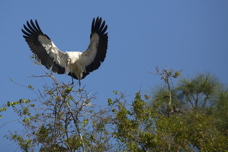 Wood stork, Mycteria americana, coming in for a landing in some central Florida shrubs, with wings outspread. Stock Photo