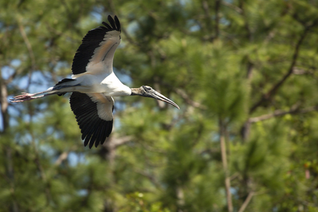 Wood stork, Mycteria americana, flying with wings outspread in front of a central Florida pine tree.