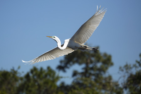 Great egret, Ardea alba, flying with wings outspread over a swamp in central Florida.