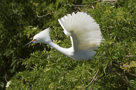 Snowy egret, Egretta thula, taking off from a shrub in a swamp in central Florida, with wings outspread.