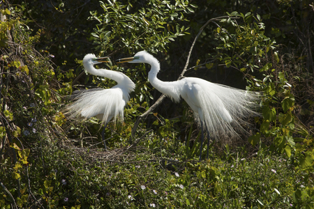 Two great egrets, Ardea alba, display in mating ritual at a rookery in a central Florida swamp.