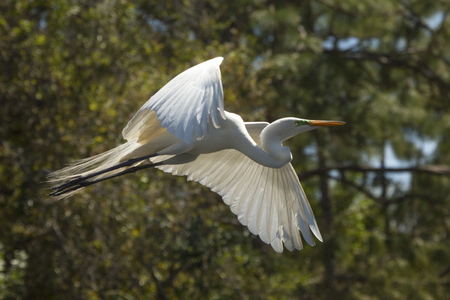 Great egret, Ardea alba, flying in a central Florida swamp, with trees and shrubs in the background.