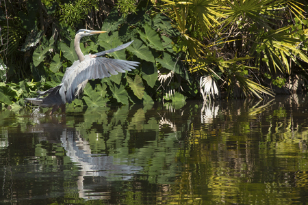 Great blue heron, Ardea herodias, taking off from water at a swamp in central Florida. Stock Photo