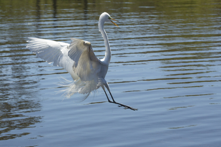 facing right: Great egret, Ardea alba, landing in shallow water with its bill open and  wings outspread, at a swamp in central Florida.