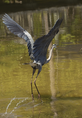 Great blue heron, Ardea herodias, just taking off from water at a swamp in central Florida.