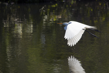 Great egret, Ardea alba, flying over water of a central Florida swamp with reflection on the water.