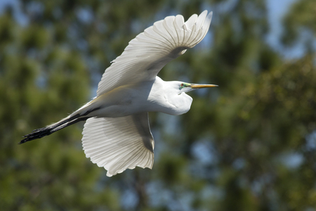wildlife preserve: Great egret, Ardea alba, flying in a central Florida swamp, with trees in the background.