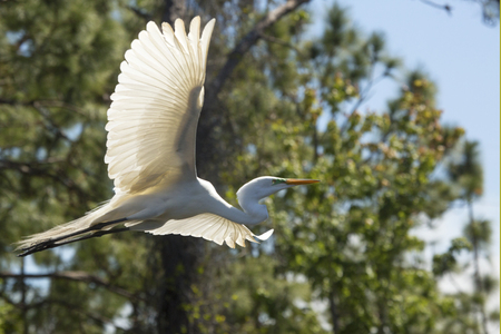 Great egret, Ardea alba, flying in a central Florida swamp, with trees the background. Stock Photo