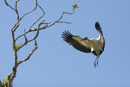 Wood stork, Mycteria americana, coming in for a landing in some central Florida shrubs.