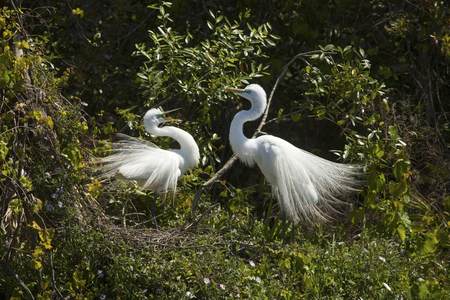 egrets: Two great egrets, Ardea alba, display in mating ritual at a rookery in a central Florida swamp.