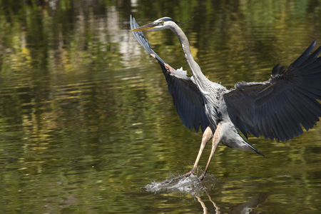 Great blue heron, Ardea herodias, landing in shallow water at a swamp in central Florida.