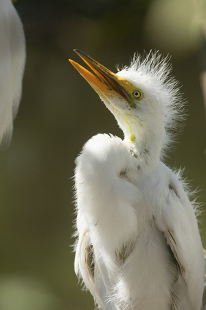 Closeup of a baby egret, Ardea alba, looking up expectantly at an adult in the nest at a rookery in central Florida.