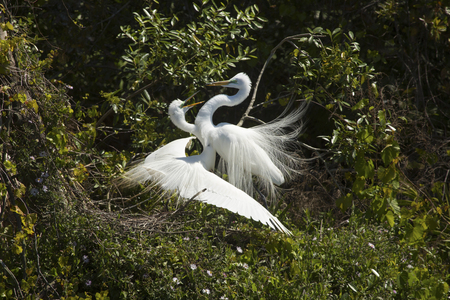 wildlife preserve: Two great egrets, Ardea alba, display in mating ritual at a rookery in a central Florida swamp.