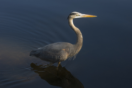 herodias: Great blue heron, Ardea herodias, wading in shallow water of a swamp in central Florida.