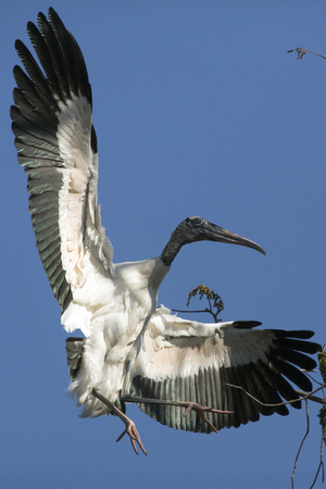 Wood stork, Mycteria americana, coming in for a dramatic landing in a tree at a swamp in central Florida. Stock Photo