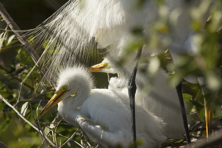 wildlife preserve: Great egret babies, Ardea alba, resting under the breeding plumage of an adult in the nest at a rookery in central Florida.