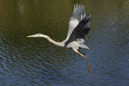 Great blue heron, Ardea herodias, flying low over water at a swamp in central Florida.