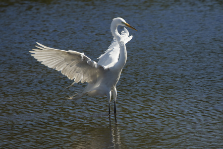 Great egret, Ardea alba, landing in shallow water with its wings outspread, at a swamp in central Florida. Stock Photo