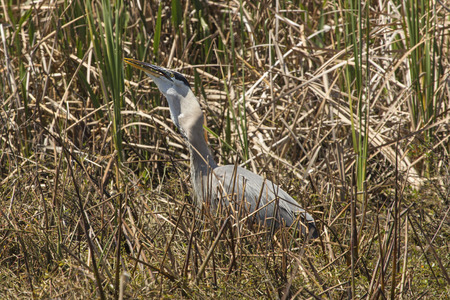 eating area: Great blue heron, Ardea herodias, in a cattail marsh with a big fish in its throat at Twin Oaks Conservation Area in St. Cloud, Florida.