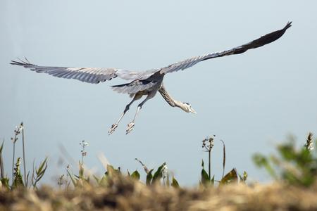 herodias: Great blue heron, Ardea herodias, taking off from the shoreline of Lake Apopka at Magnolia Park in Florida. Stock Photo