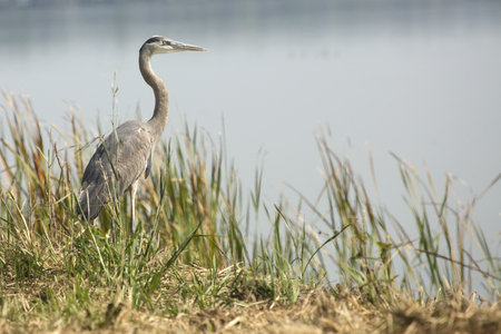 wetland conservation: Great blue heron, Ardea herodias, standing in marsh grasses in Magnolia Park on the shore of Lake Apopka in Florida.