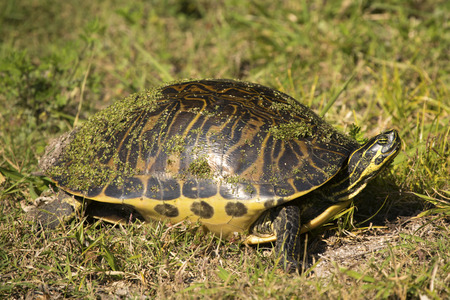 Red-bellied cooter turtle, Pseudemys nelsoni, covered with duckweed as it walks in the grass on the shore of Lake Apopka in Magnolia Park, Florida.