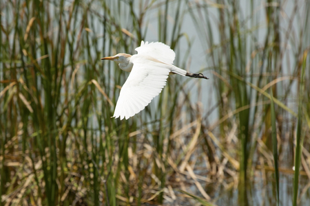wetland conservation: Cattle egret, Bubulcus ibis, in flight among marsh grasses, with wings outspread, in Magnolia Park on the shore of Lake Apopka in Florida. Stock Photo