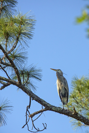 Great blue heron, Ardea herodias, perched in a pine tree at Shingle Creek Regional Park in Kissimmee, Florida, in springtime.