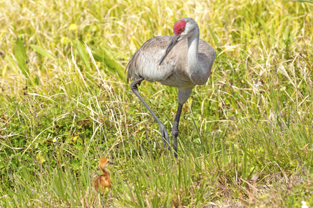Sandhill crane, Grus canadensis, standing with a chick at the edge of a swamp in Orlando Wetlands Park in Christmas, Florida. Stock Photo