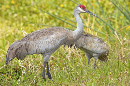 Pair of sandhill cranes, Grus canadensis, standing at the edge of a swamp in Orlando Wetlands Park in Christmas, Florida. Stock Photo