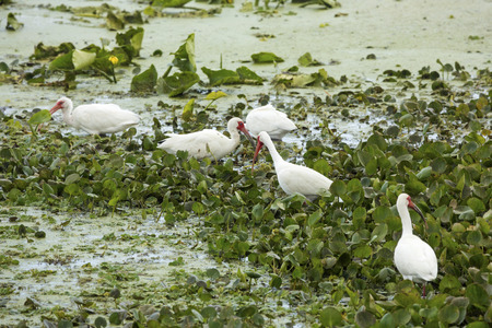wetland conservation: Group of white ibises, Eudocimus americana, feeding in water hyacinths of a swamp at Orlando Wetlands Park in Christmas, Florida.