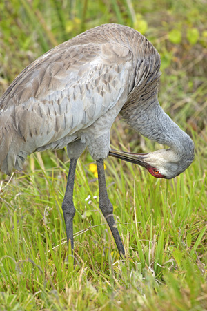 edge: Sandhill crane, Grus canadensis, standing at the edge of a swamp preening, in Orlando Wetlands Park in Christmas, Florida. Stock Photo