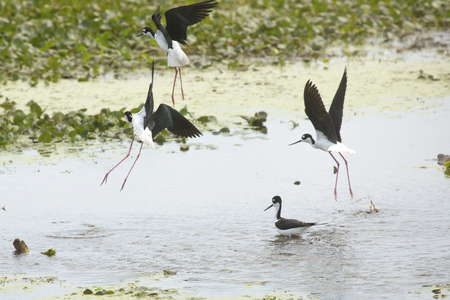 wetland conservation: Black-necked stilts, Himantopus mexicanus, landing with another wading in water of a swamp at Orlando Wetlands Park in Christmas, Florida.
