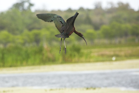 Glossy ibis, Plegatis falcinellus, flying low while preparing to land in a swamp, with its iridescent wings outspread at Orlando Wetlands Park in Christmas, Florida. Stock Photo