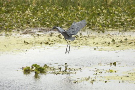 wetland conservation: Little blue heron, Egretta caerulea, coming in for a landing in the water near aquatic vegetation at Orlando Wetlands Park in Christmas, Florida.