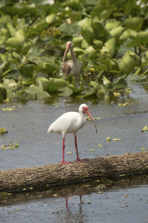wetland conservation: White ibis, Eudocimus alba, standing on a log in the water, with a juvenile ibis among water plants in the background at Orlando Wetlands Park in Christmas, Florida. Stock Photo