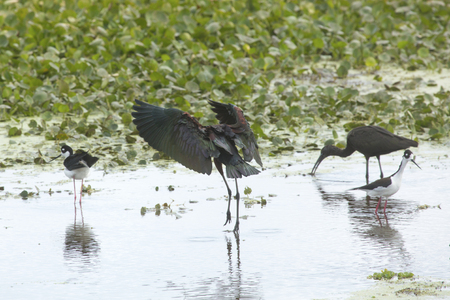 Glossy ibis, Plegatis falcinellus, landing in a swamp, with its wings outspread and three other birds already there at Orlando Wetlands Park in Christmas, Florida. Stock Photo