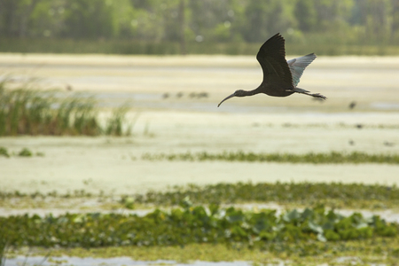 wetland conservation: Glossy ibis, Plegatis falcinellus, flying low over a swamp, with its wings outspread at Orlando Wetlands Park in Christmas, Florida.