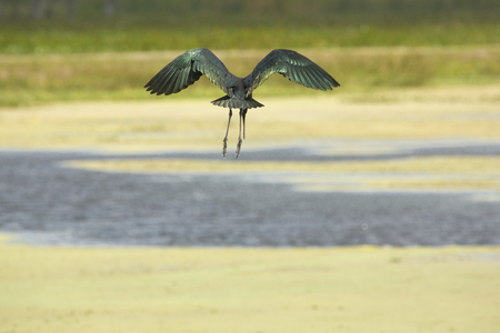wetland conservation: Glossy ibis, Plegatis falcinellus, flying low while preparing to land in a swamp, with its wings outspread at Orlando Wetlands Park in Christmas, Florida. Stock Photo