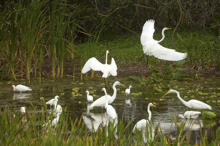 Great egrets, Ardea alba, displaying and taking flight with wings dramatically outspread in a swamp at Orlando Wetlands Park in Christmas, Florida.