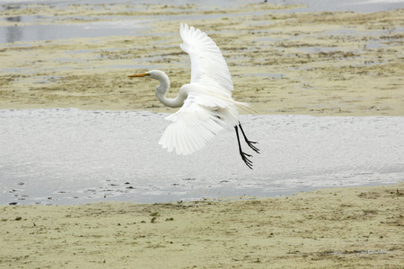 wetland conservation: Great egret, Ardea alba, landing in a swamp with wings outspread at Orlando Wetlands Park in Christmas, Florida.