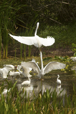 Great egrets, Ardea alba, dramatically displaying with wings outspread in a swamp at Orlando Wetlands Park in Christmas, Florida.