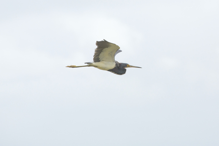 wetland conservation: Tricolored heron, Egretta tricolor, flying in a cloudy sky over a swamp at Orlando Wetlands Park in Christmas, Florida.